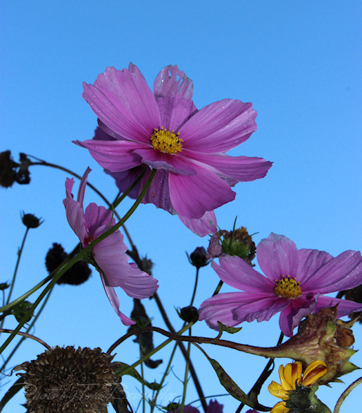 cosmos tangle photo by tori beveridge