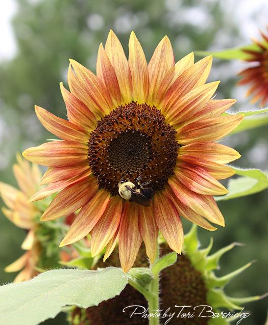 Photo of a Sunflower by Tori Beveridge